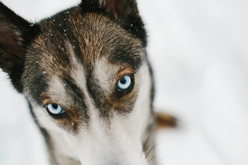 Husky2.jpg